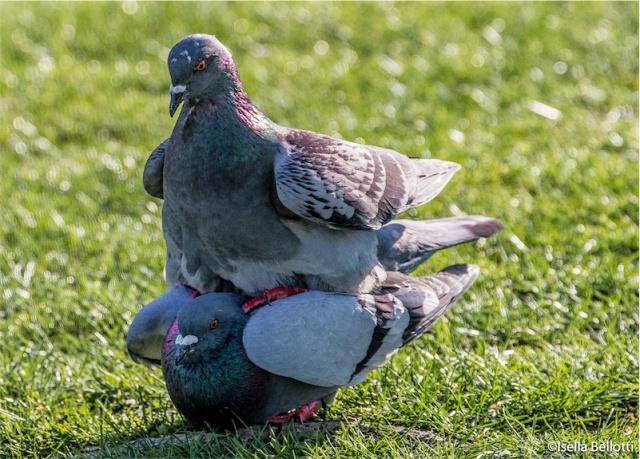 E' primavera anche per i piccioni...