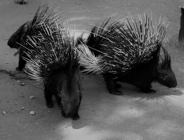 Siam tre piccoli porcospin