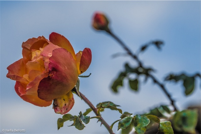 Le ultime rose....