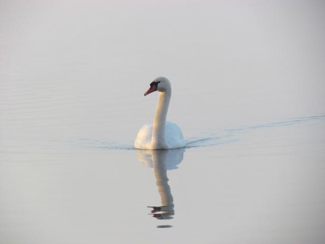 Swan in the fog
