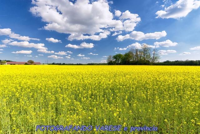 Il campo giallo